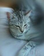 Peut on m'aider à retrouver mon chat SMOOKY Smooky10