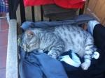 Peut on m'aider à retrouver mon chat SMOOKY Smooky11