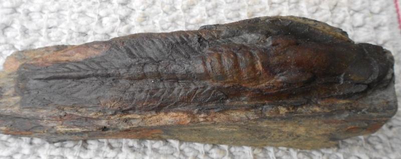 Nobiliasaphus Ordoviciens. 1188_n10