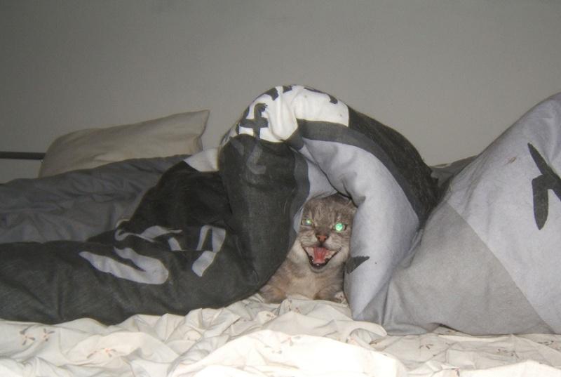 Cartouche, chat gris sauvage Dscf5610