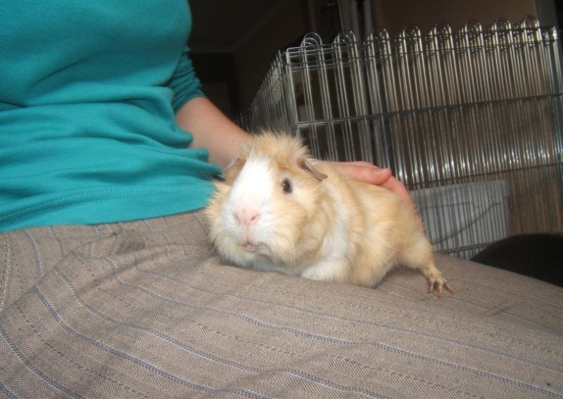 Abricot, cochon d'inde adulte Dscf6411