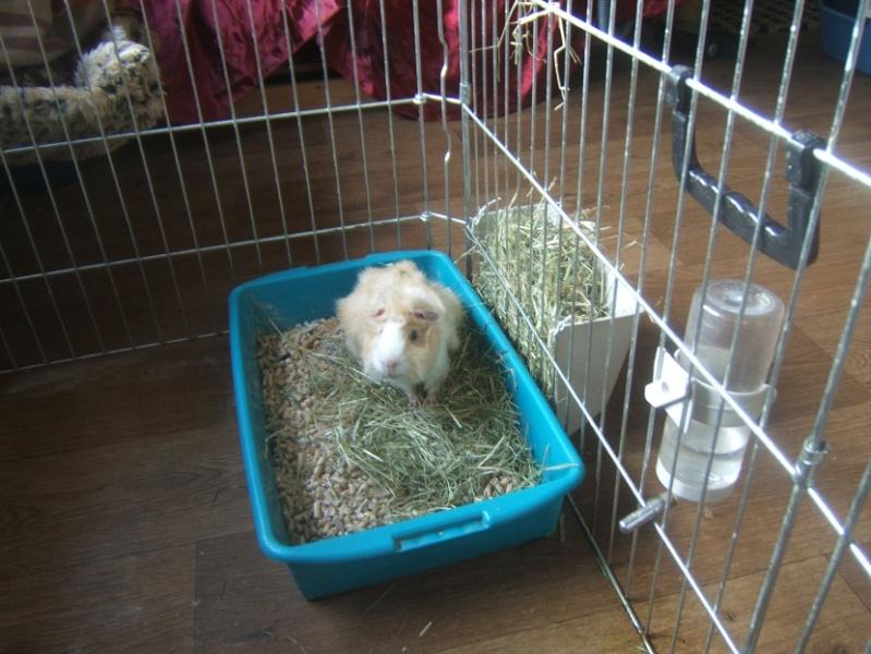 Abricot, cochon d'inde adulte Dscf6412