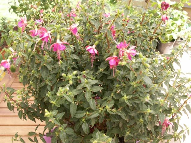 Fleurs et plantes d'été....enfin !!! Pict0514