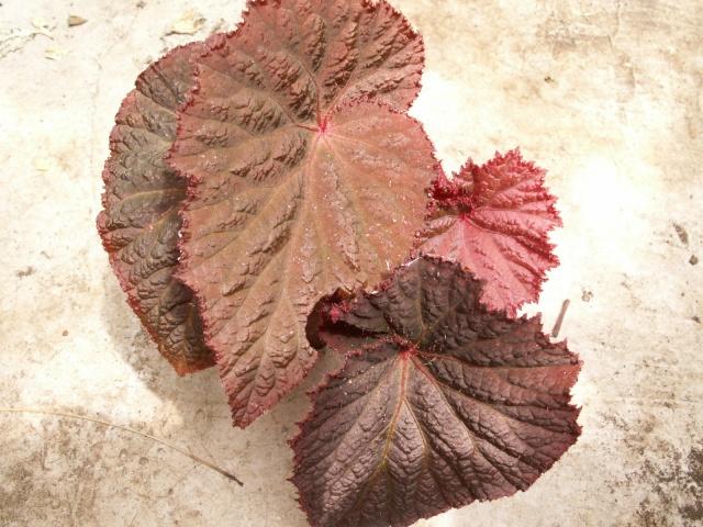 Begonia midnight magic Pict0516