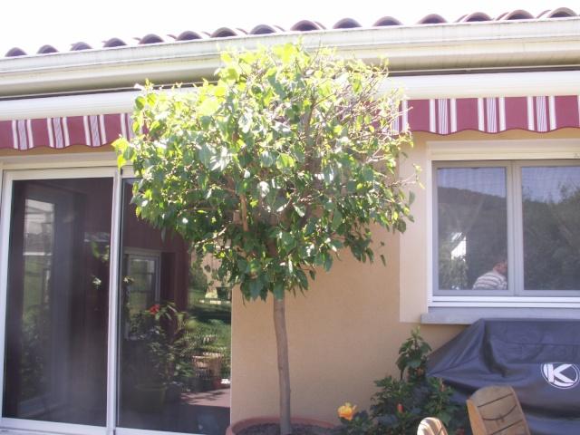 Un hibiscus géant ! Pict0518