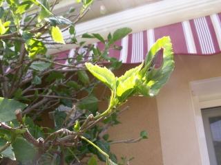 Un hibiscus géant ! Pict0522