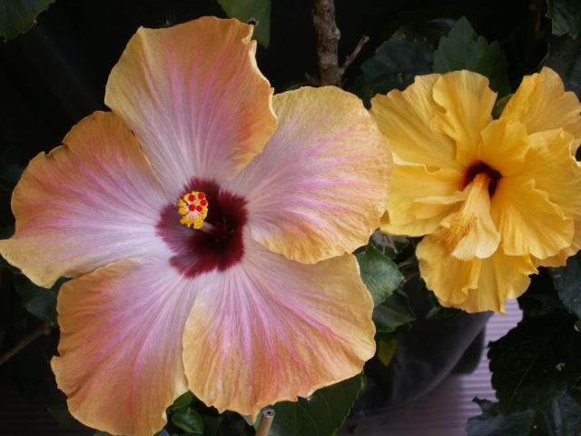 Hibiscus en fleurs Pict0523