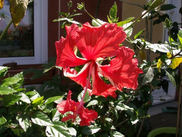 Hibiscus en fleurs Pict0524