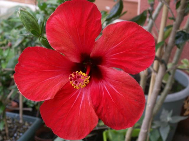 Hibiscus en fleurs Pict0525