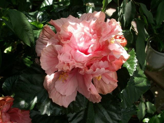Hibiscus en fleurs Pict0527