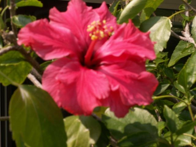 Un hibiscus géant ! Pict0534