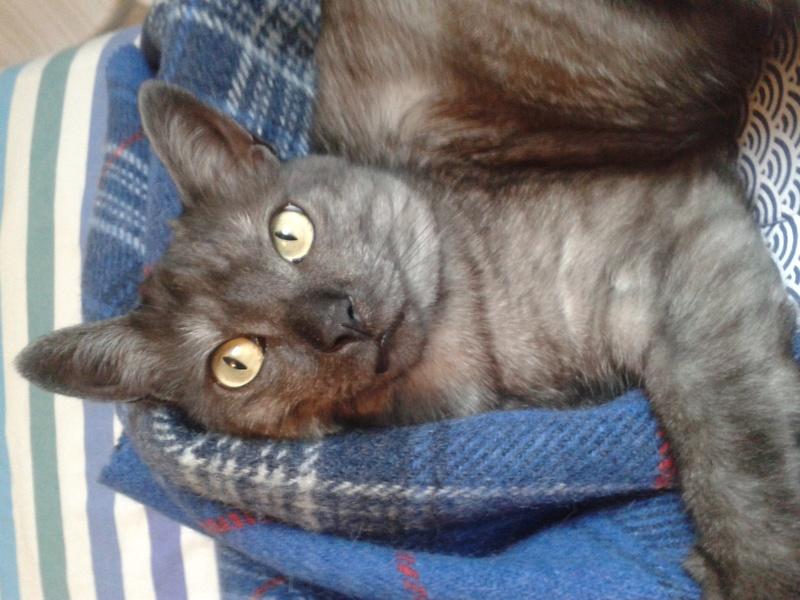 LIXOU, jeune chat européen, robe smoke, né en janvier 2015 20161210