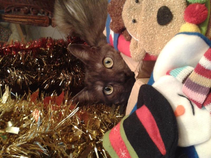 LIXOU, jeune chat européen, robe smoke, né en janvier 2015 20161211