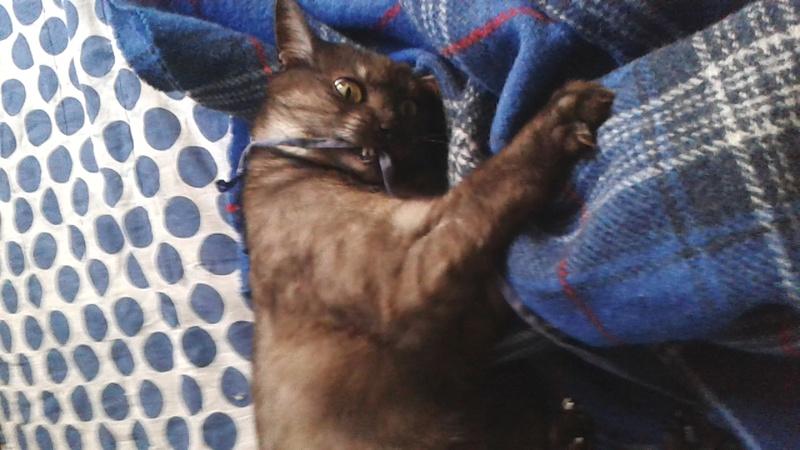 LIXOU, jeune chat européen, robe smoke, né en janvier 2015 20170110