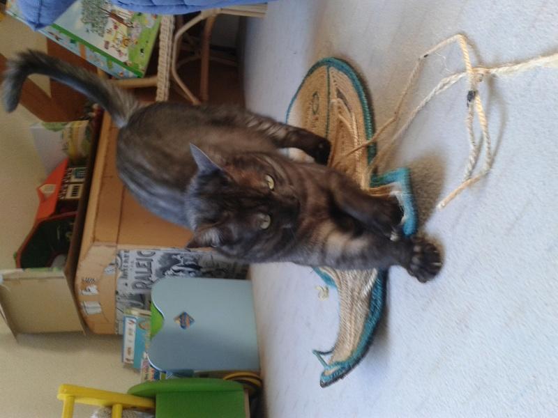 LIXOU, jeune chat européen, robe smoke, né en janvier 2015 20170111