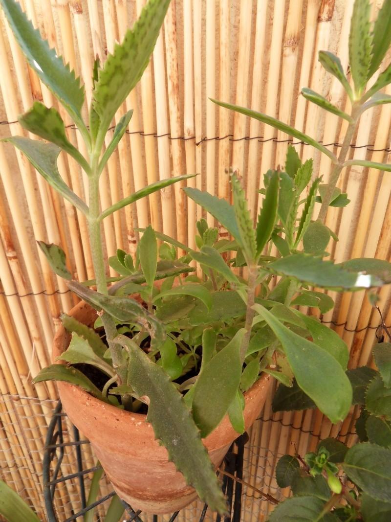 Quelle est cette plante ??? 06110