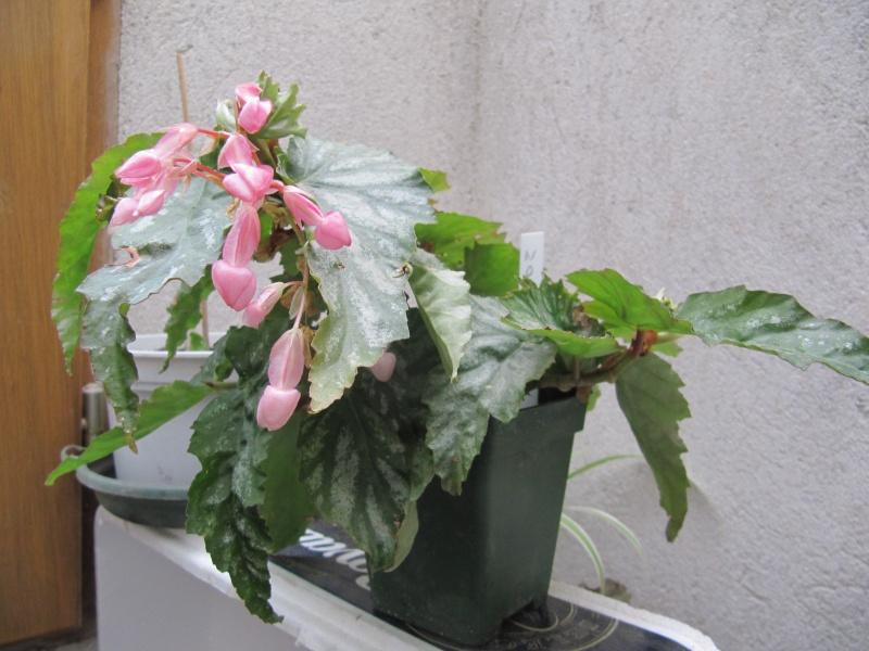 Premières fleurs. Nokomi10