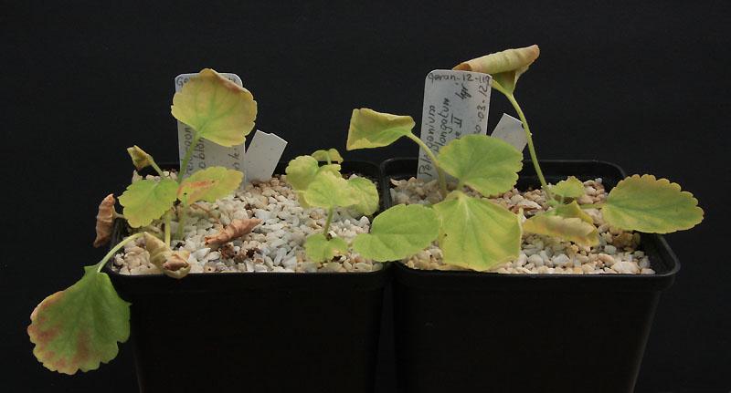 Pelargonium oblongatum  Img_2310