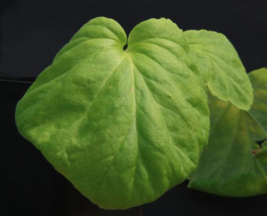Pelargonium oblongatum  Img_2412