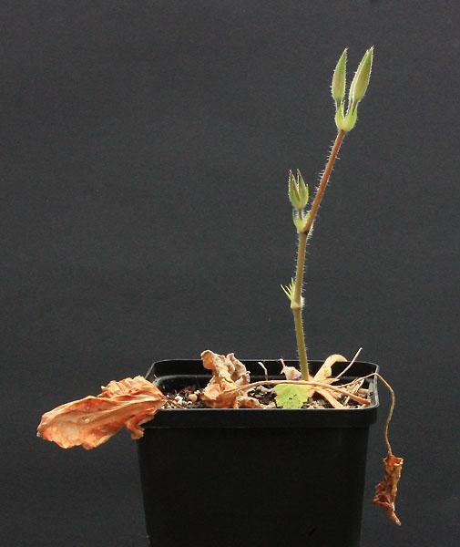 Pelargonium oblongatum  Img_2710