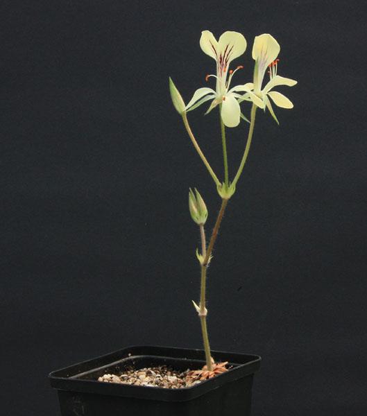 Pelargonium oblongatum  Img_3011