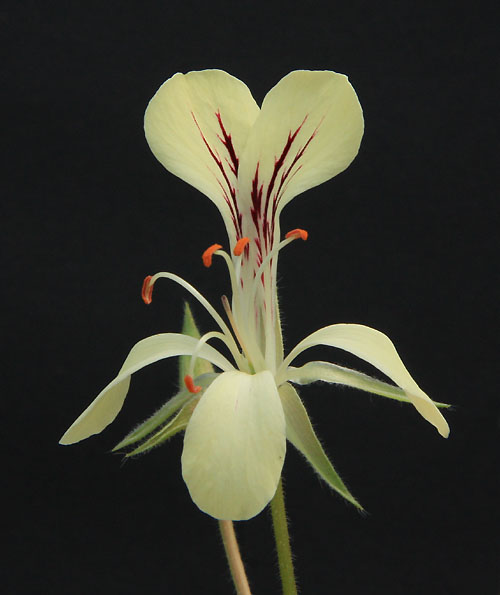 Pelargonium oblongatum  Img_3012