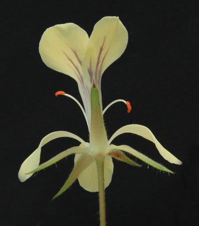 Pelargonium oblongatum  Img_3014