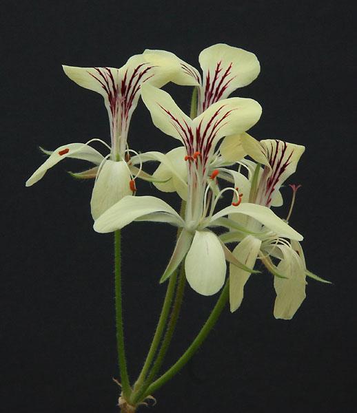 Pelargonium oblongatum  Img_3810