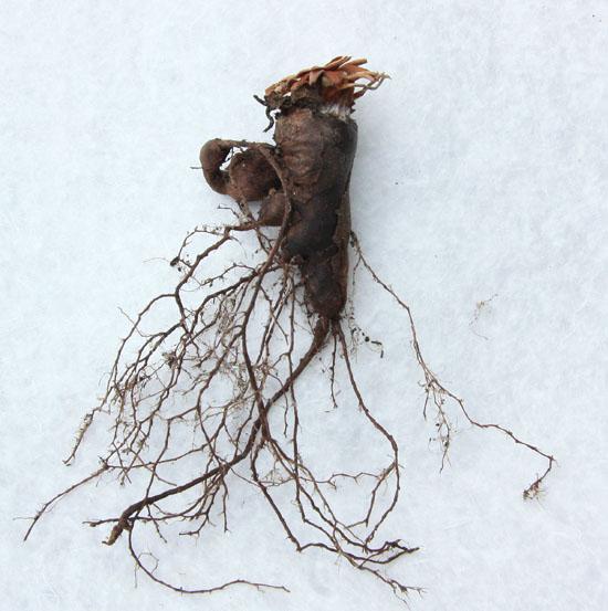 Pelargonium oblongatum  Img_4010