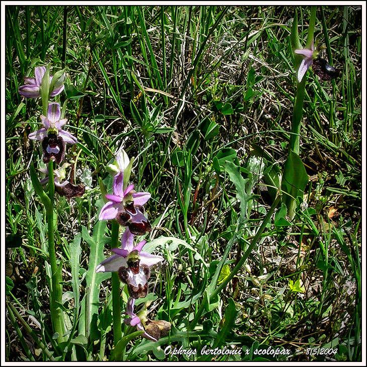 """Ophrys bertolonii bertolonii (""""aurelia"""")  × scolopax 04050812"""
