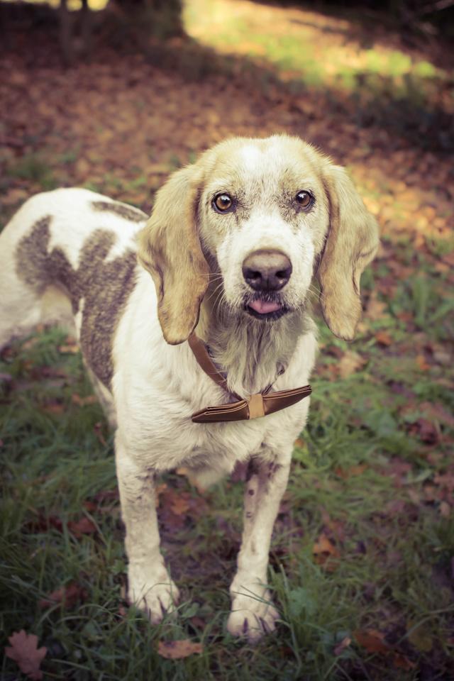GAUFRETTE - x beagle 8 ans (dont 7 ans de refuge) - Refuge des Clochards Poilus à Tabanac (33) Img_3310