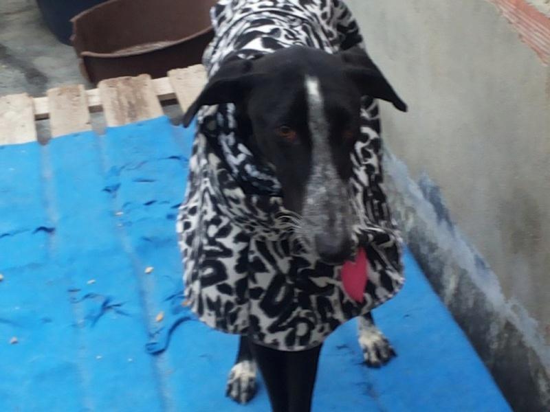 """Léonn galgo noir à l'adoption """"Scooby France """" Adopté  Leon_110"""