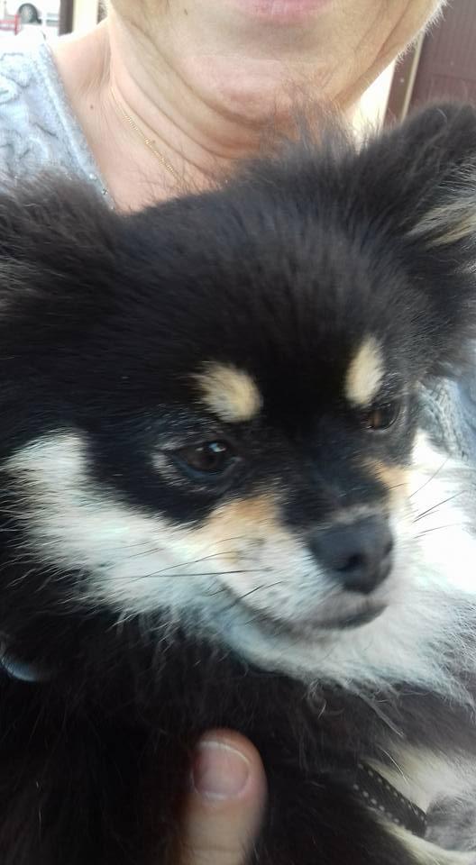 Lovely ,petite spitz naine née en 2015 à l'adoption Scooby France Adoptée  Lovely12