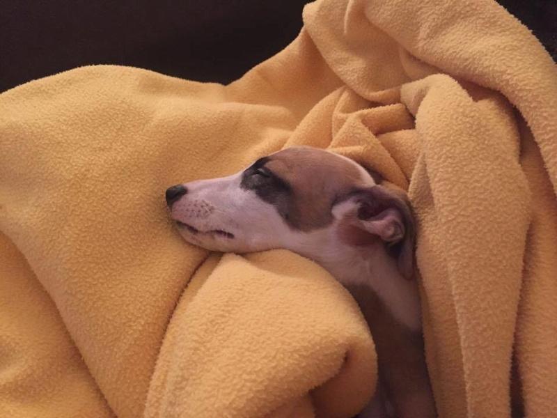 Marquise bébé whippet de 3 semaines à l'adoption Adoptée Marqui12