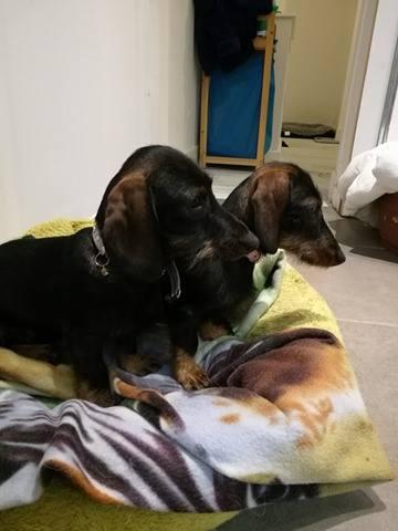 Nos petits teckels sont bien arrivés hier (tous reserves pour adoption) Max_et10