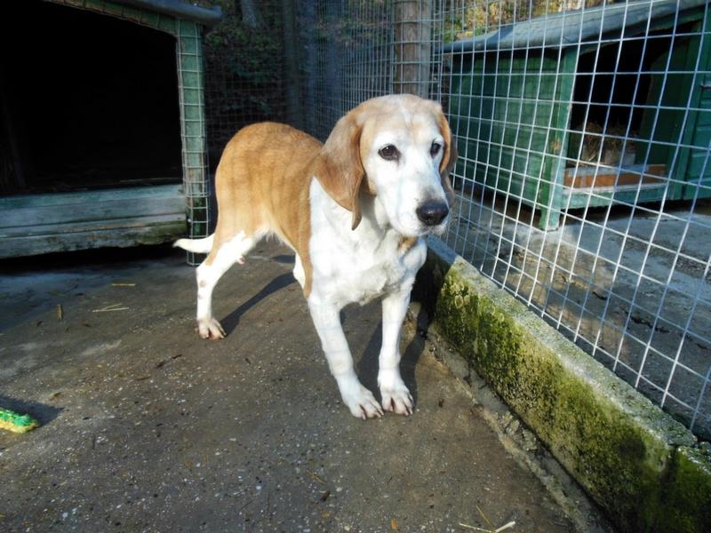 ALOA - x beagle 11 ans - Refuge des Clochards Poilus à Tabanac (33) Dscn4811