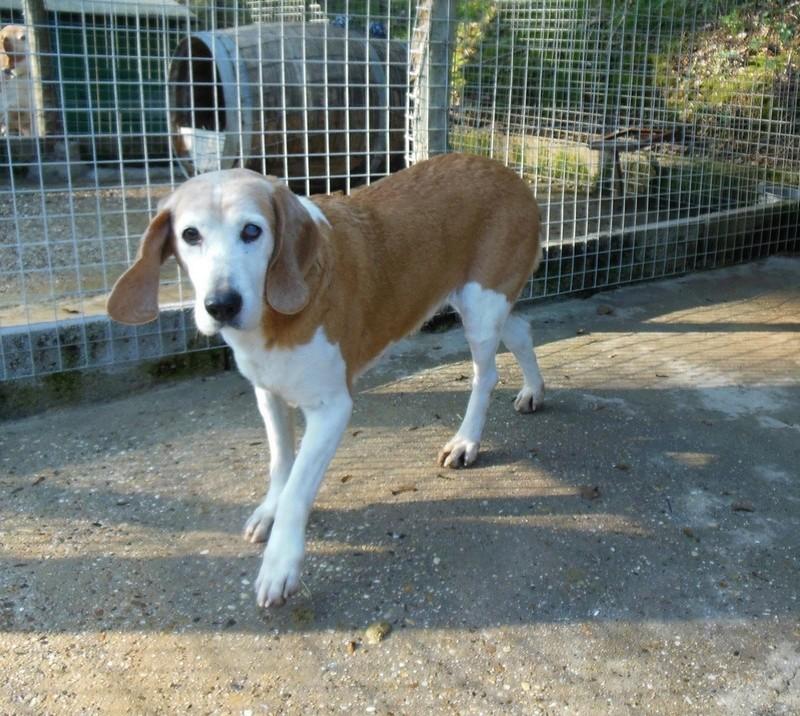 ALOA - x beagle 11 ans - Refuge des Clochards Poilus à Tabanac (33) Dscn4814