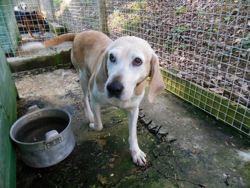 ANIS - x beagle 11 ans - Refuge des Clochards Poilus à Tabanac (33) Dscn4818