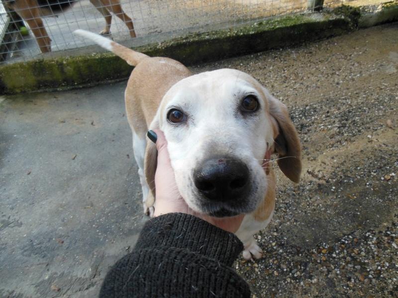 ANIS - x beagle 11 ans - Refuge des Clochards Poilus à Tabanac (33) Dscn4819
