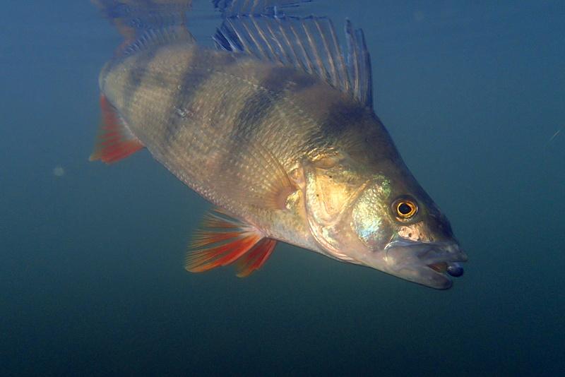 sortie pêche janvier  Perche13