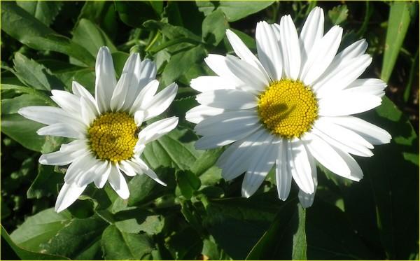 Leucanthemum maxima !!!  05072013
