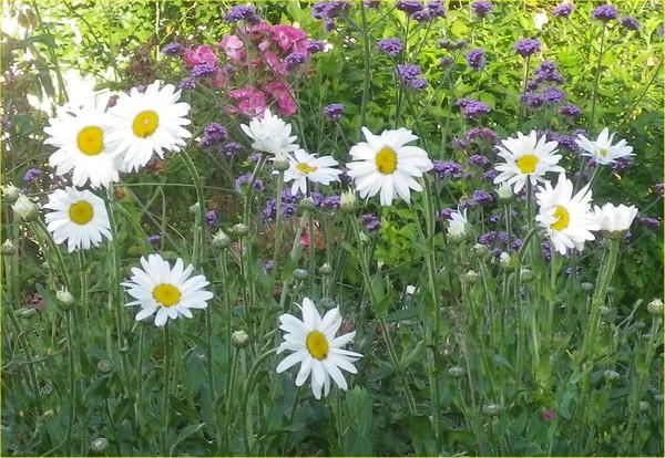Leucanthemum maxima !!!  05072014