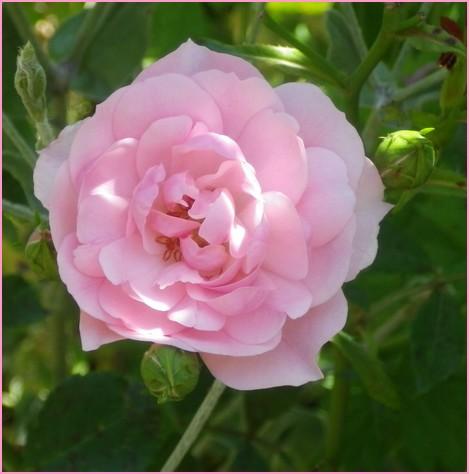 Rosa 'Bonica' !!! - Page 2 06072022