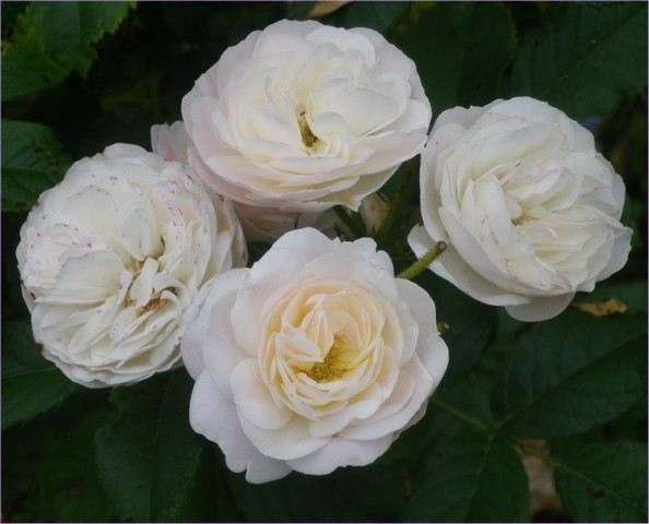 Rosa 'Bouquet Parfait' !!! - Page 4 08072017