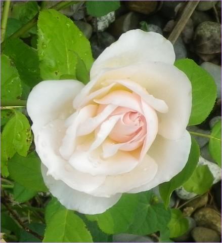 Rosa 'Héritage' !!! - Page 3 14072015