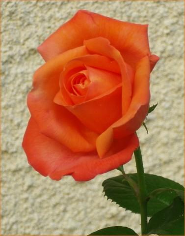 Rosa 'Sdeb' !!! 15072016