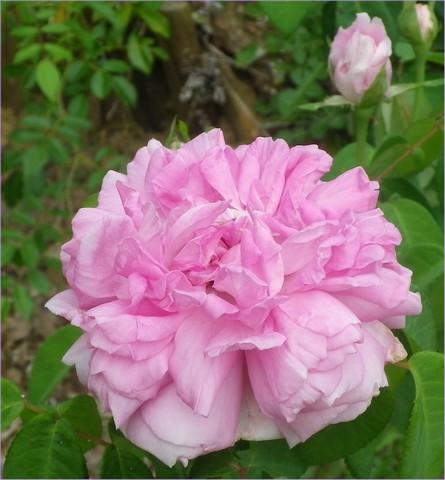 Rosa 'Enfant de France' !!! 24072021