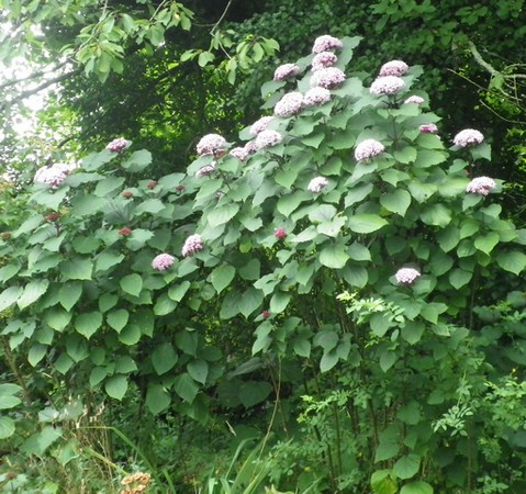 Clerodendron bungei !!! 27072023