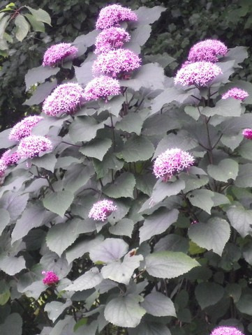 Clerodendron bungei !!! 27072024