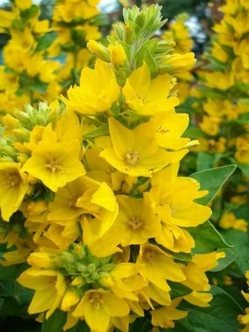 33 - La couleur jaune !!! Juille11
